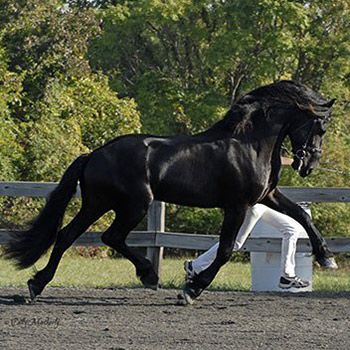 Friesian Horse Stallion at Friesian Keuring