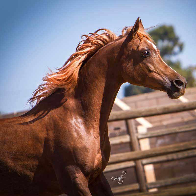 Sun God Arabian Mare