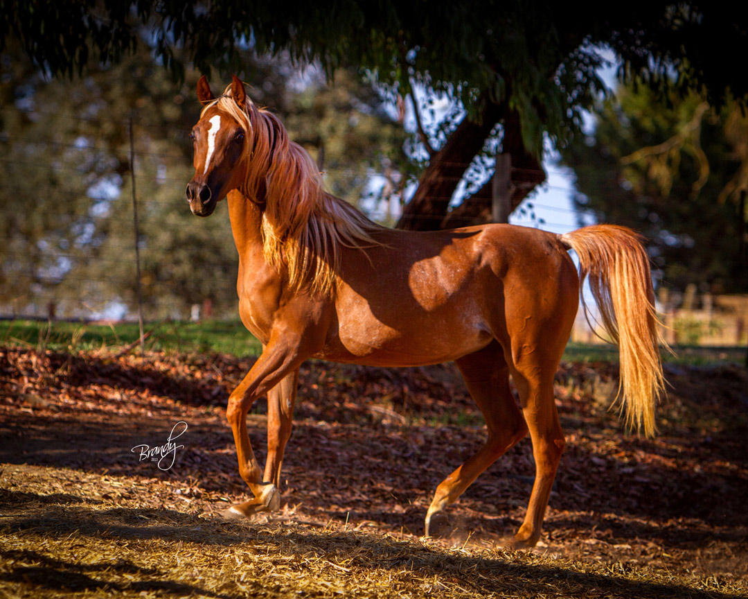 Chestnut Flaxen Beautiful Arabian Horse Mare