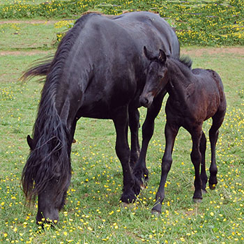 Ster Friesian Mare with Friesian Foal