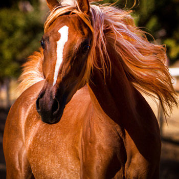 Most Beautiful Arabian Horses in the World Belle Cheval Arabians